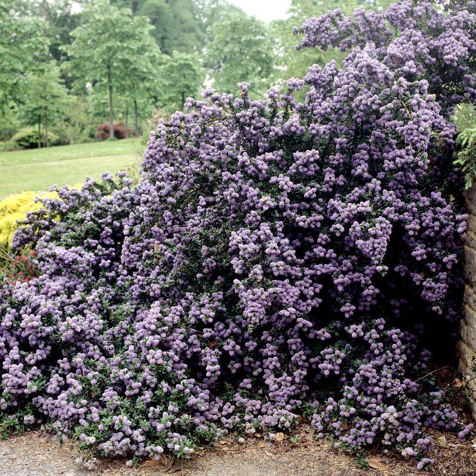 Espèces arbustives persistantes Ceanothus 'Blue Mound'