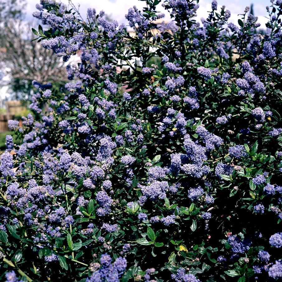 Espèces érigées persistantes Ceanothus arboreus 'Trewithen Blue'