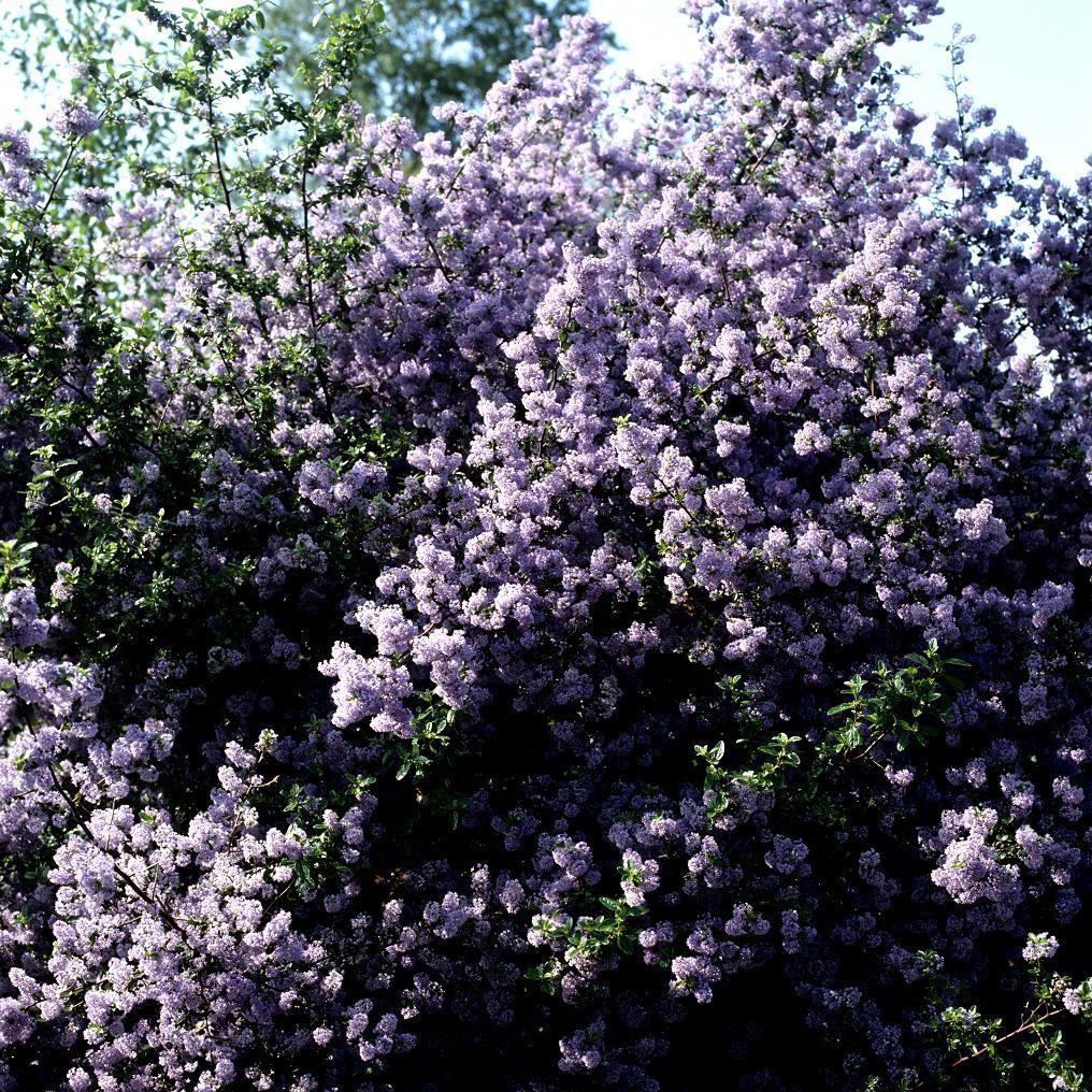 Espèces arbustives persistantes Ceanothus 'Burkwoodii'