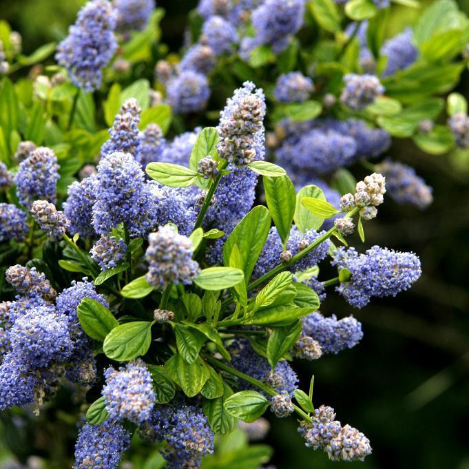 Espèces érigées persistantes Ceanothus 'Puget Blue' (syn. C. impressus 'Puget Blue')