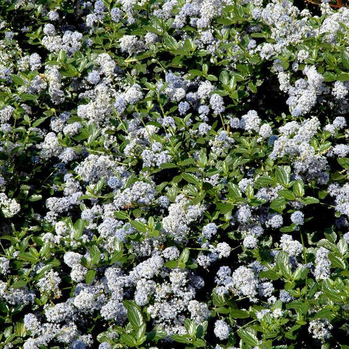 Espèces arbustives persistantes Ceanothus thyrsiflorus 'Skylark'