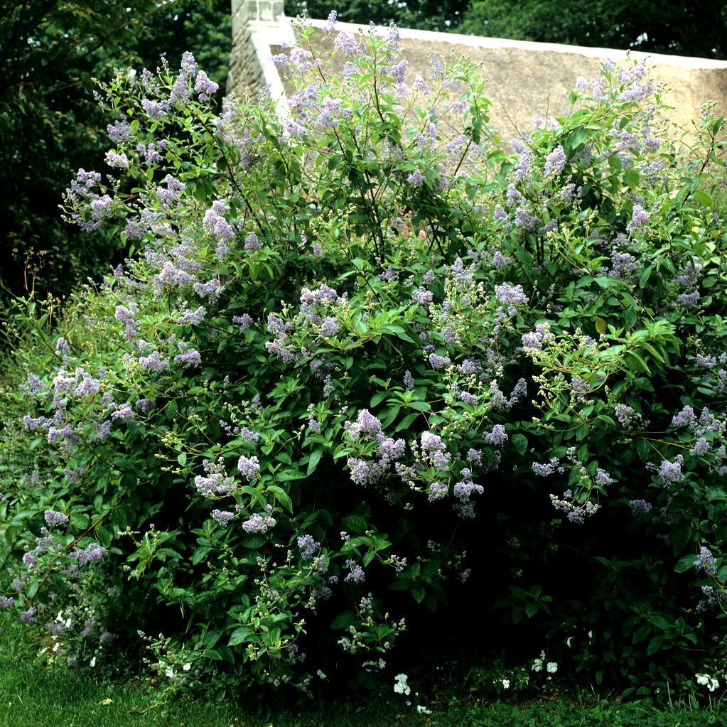 Espèces arbustives caduques Ceanothus x delilianus 'Gloire de Versailles'