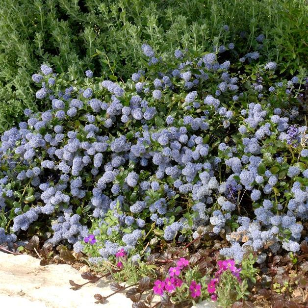 Espèces arbustives persistantes Ceanothus thyrsiflorus var repens