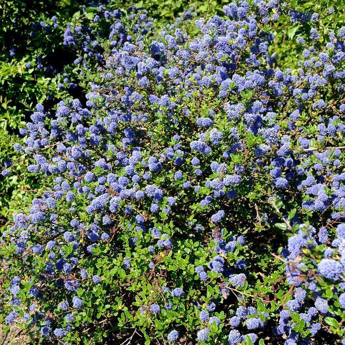 Espèces arbustives persistantes Ceanothus 'Automnal Blue'