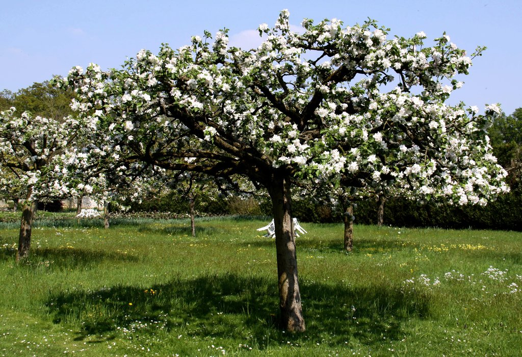 Poirier planter et entretenir ooreka - Taille du poirier william ...