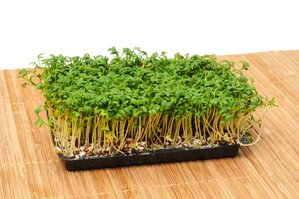 Semis du cresson alénois