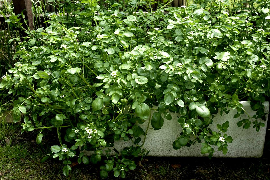 Cresson de fontaine planter et cultiver ooreka - Culture du cresson de jardin ...