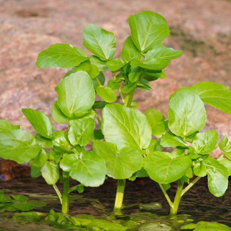 'Amélioré à larges feuilles'