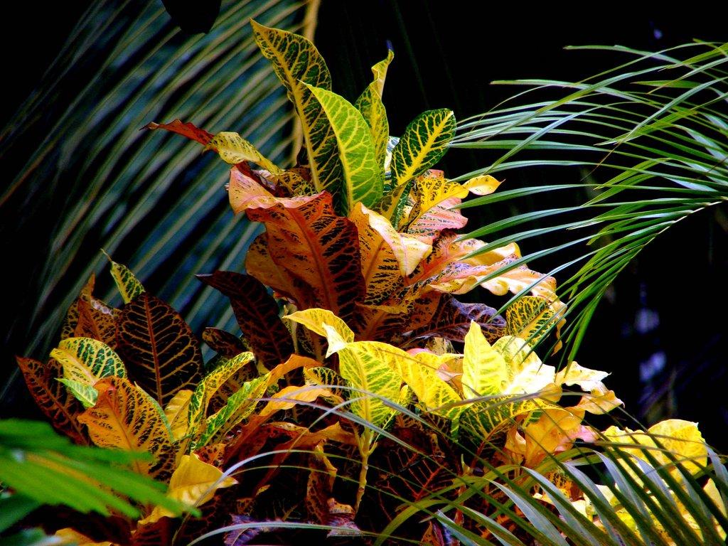 Croton planter et cultiver ooreka - Plantas con flor de interior ...