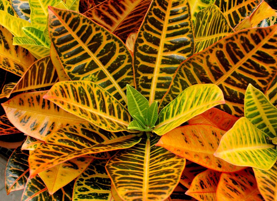 Croton planter et cultiver ooreka for Plantes d interieur toxiques