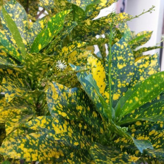 Croton planter et cultiver ooreka for Plante 8 feuilles