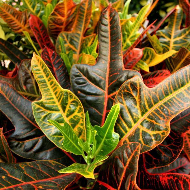 Codiaeum variegatum var. pictum (espèce type)