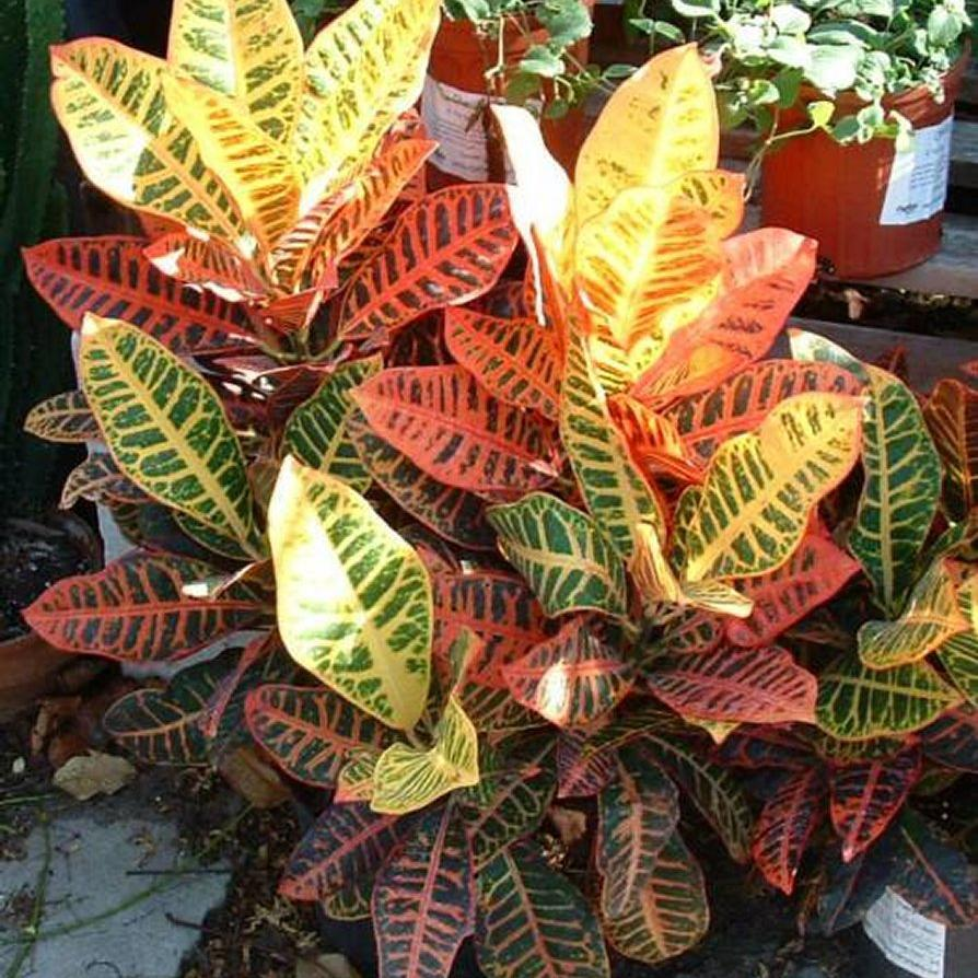 plante interieur feuilles colorees