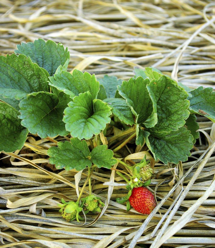 Comment Entretenir Les Fraisiers En Automne fraisier : planter et tailler – ooreka