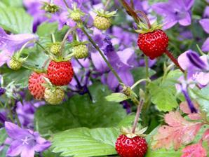 Semis et plantation du fraisier