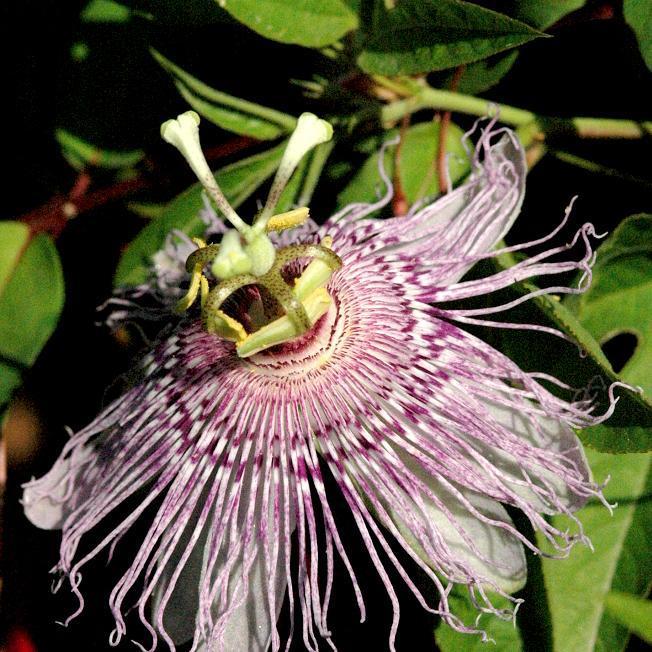 Passiflore officinale (Passiflora incarnata)