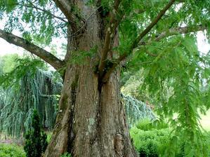 Multiplication du métaséquoia