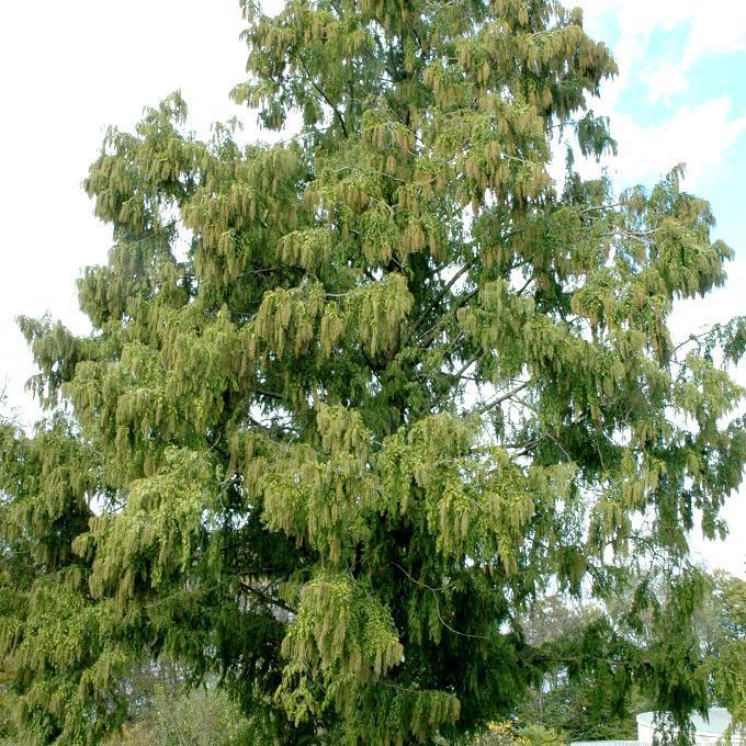 Métaséquoia du Sichuan (Metasequoia glyptostroboides)