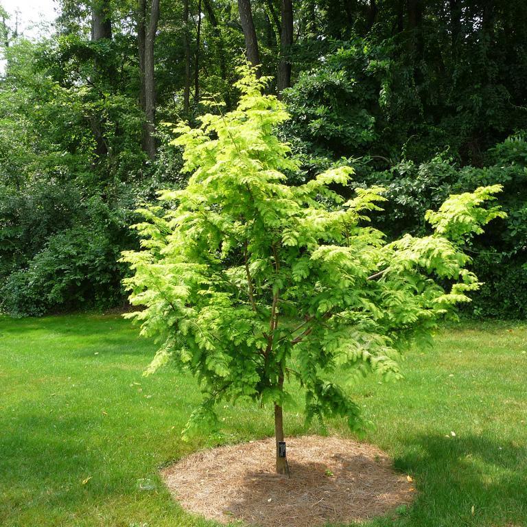 Metasequoia glyptostroboides GOLD RUSH® 'Ogon'