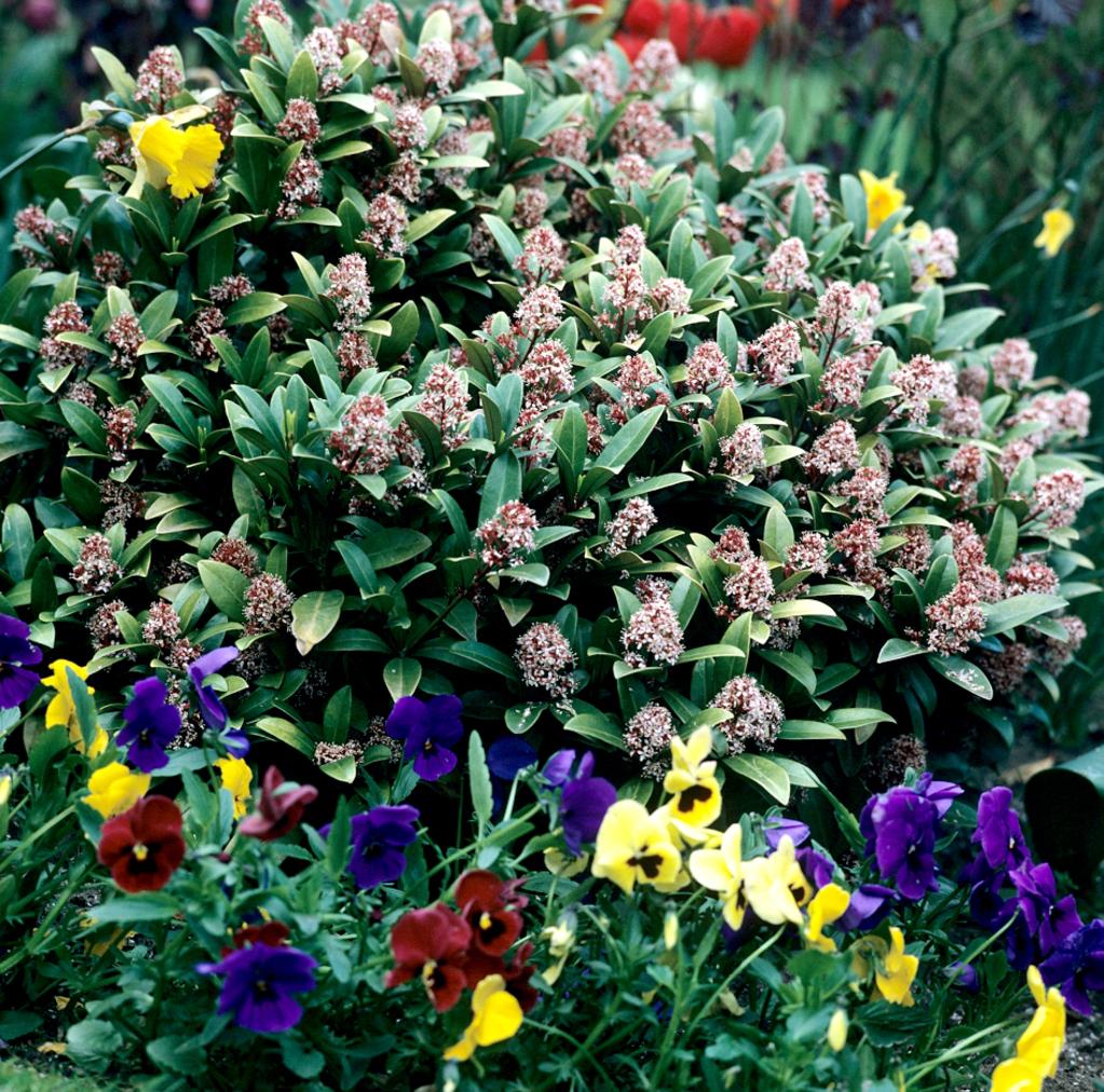 Skimmia du japon planter et cultiver ooreka for Plante pendante
