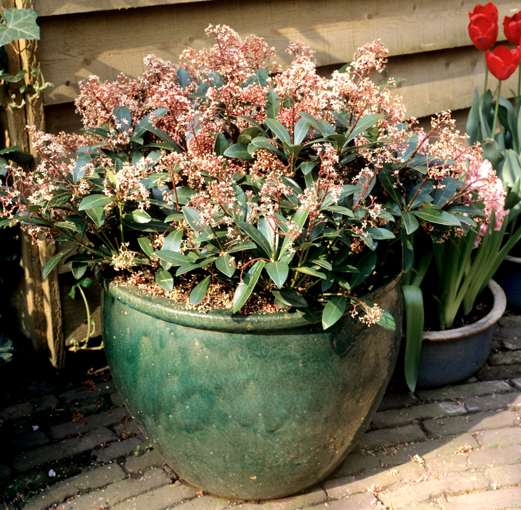 Skimmia du japon planter et cultiver ooreka for Culture du bougainvillier en pot