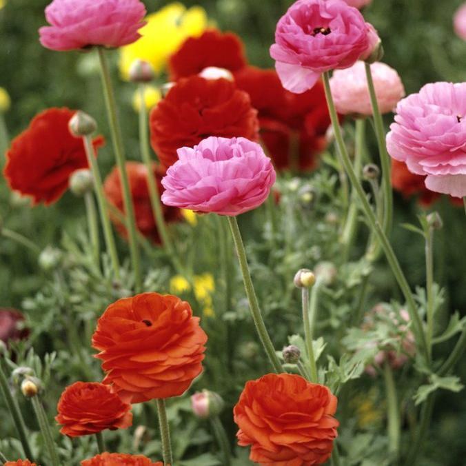 Renoncule des fleuristes ou des jardins (Ranunculus asiaticus) Estrella