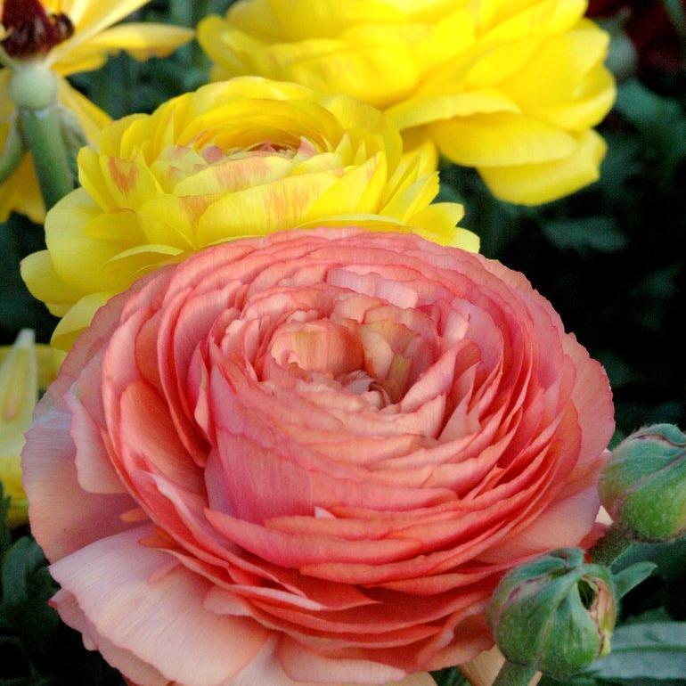Renoncule des fleuristes ou des jardins (Ranunculus asiaticus) Accolade
