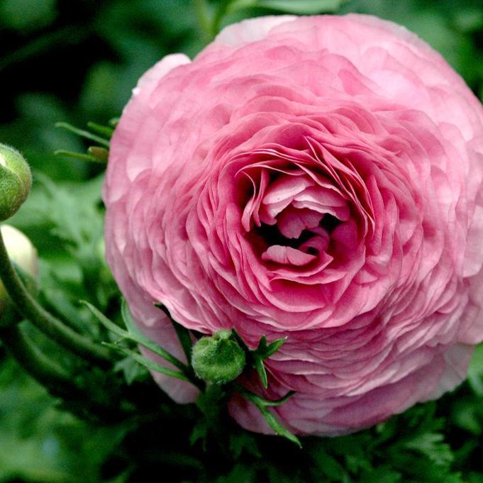 Renoncule des fleuristes ou des jardins (Ranunculus asiaticus) Friandine