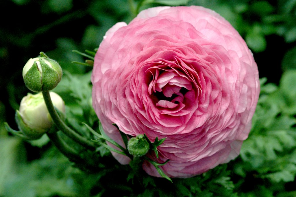 Renoncule : planter et cultiver – Ooreka