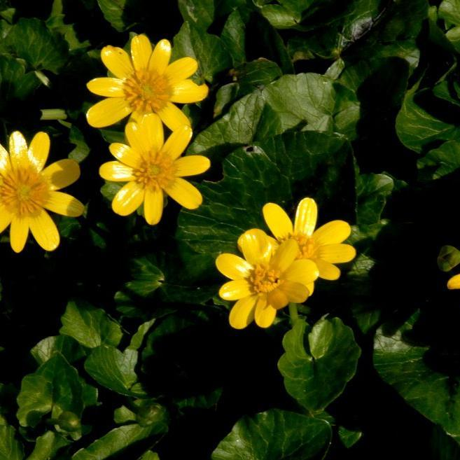 Renoncules sauvages Ficaire (Ranunculus ficaria)