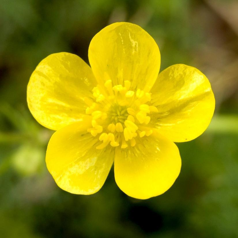 Renoncules sauvages Bouton-d'or (Ranunculus acris)