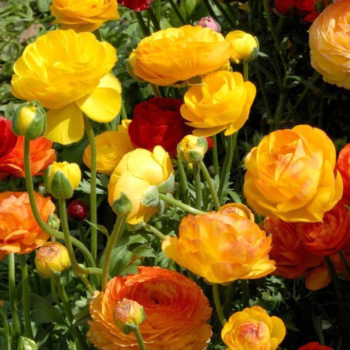 Renoncule des fleuristes ou des jardins (Ranunculus asiaticus) Mignonette