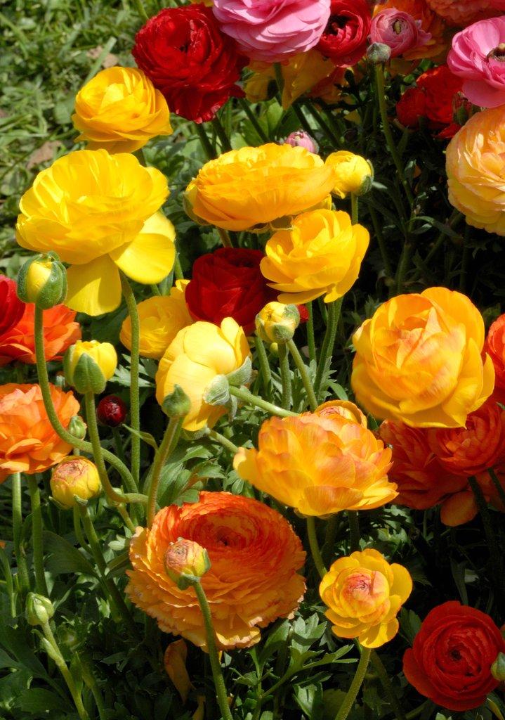 Renoncule planter et cultiver ooreka for Fleuriste jardin des fleurs