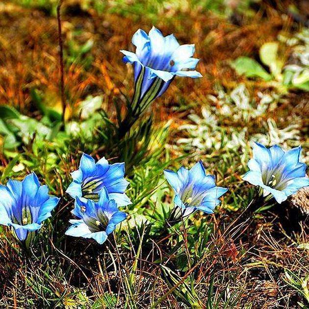 Espèces naines à fleurs solitaires Gentiane de Chine d'automne (Gentiana sino-ornata)