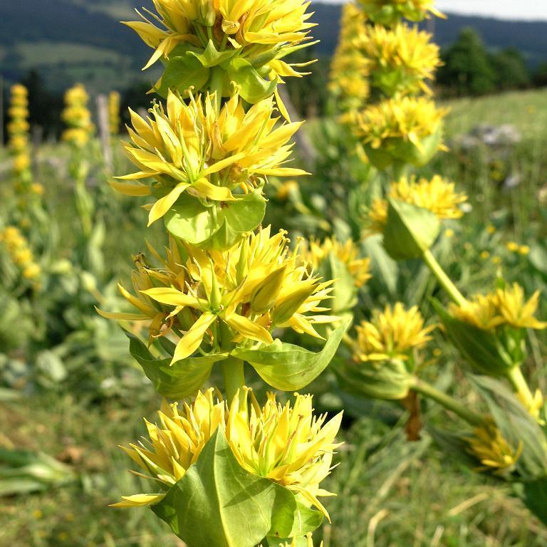 Espèces dressées Gentiane jaune, grande gentiane (Gentiana lutea)