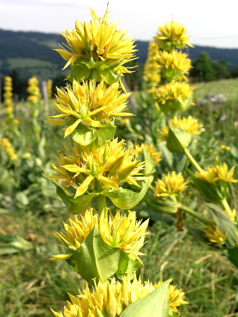 Gentiane planter et cultiver ooreka - Coloriage fleur gentiane ...