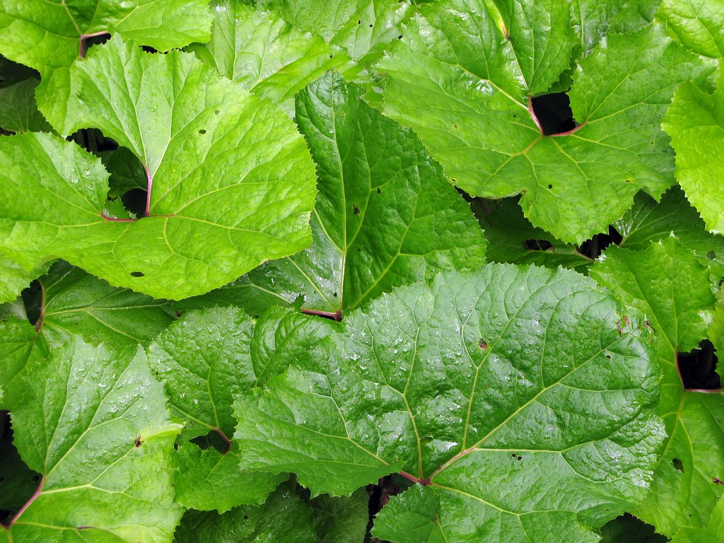 Bardane planter et cultiver ooreka for Plante 4 images 1 mot