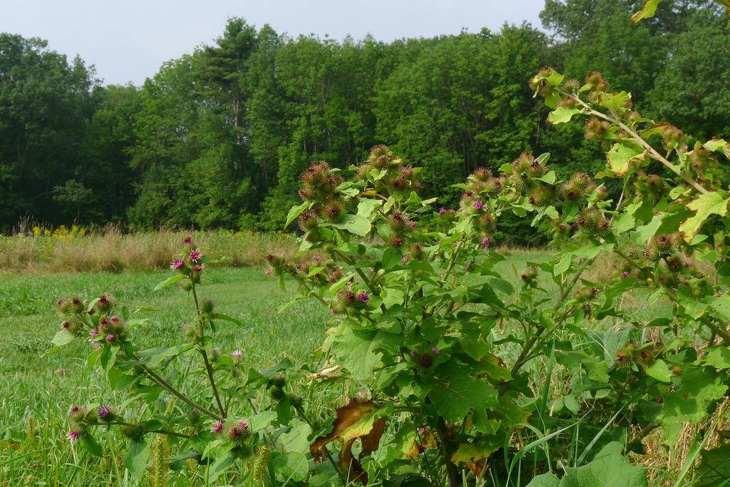 Bardane planter et cultiver ooreka for Plante ornementale