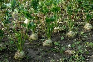 Semis et plantation du céleri-rave