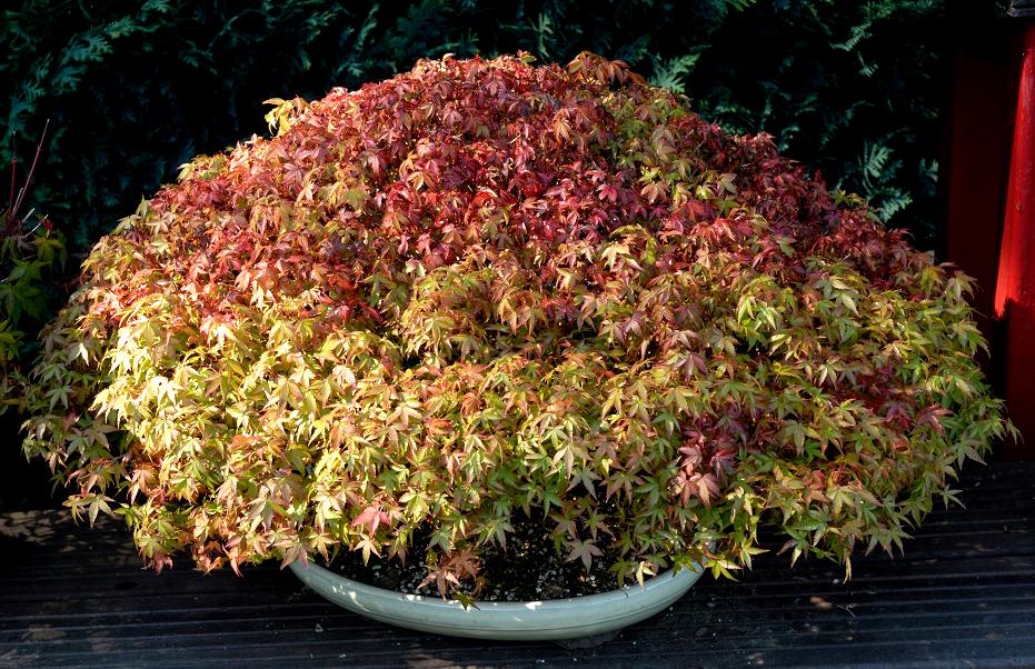 Érable du Japon  planter et tailler – Ooreka