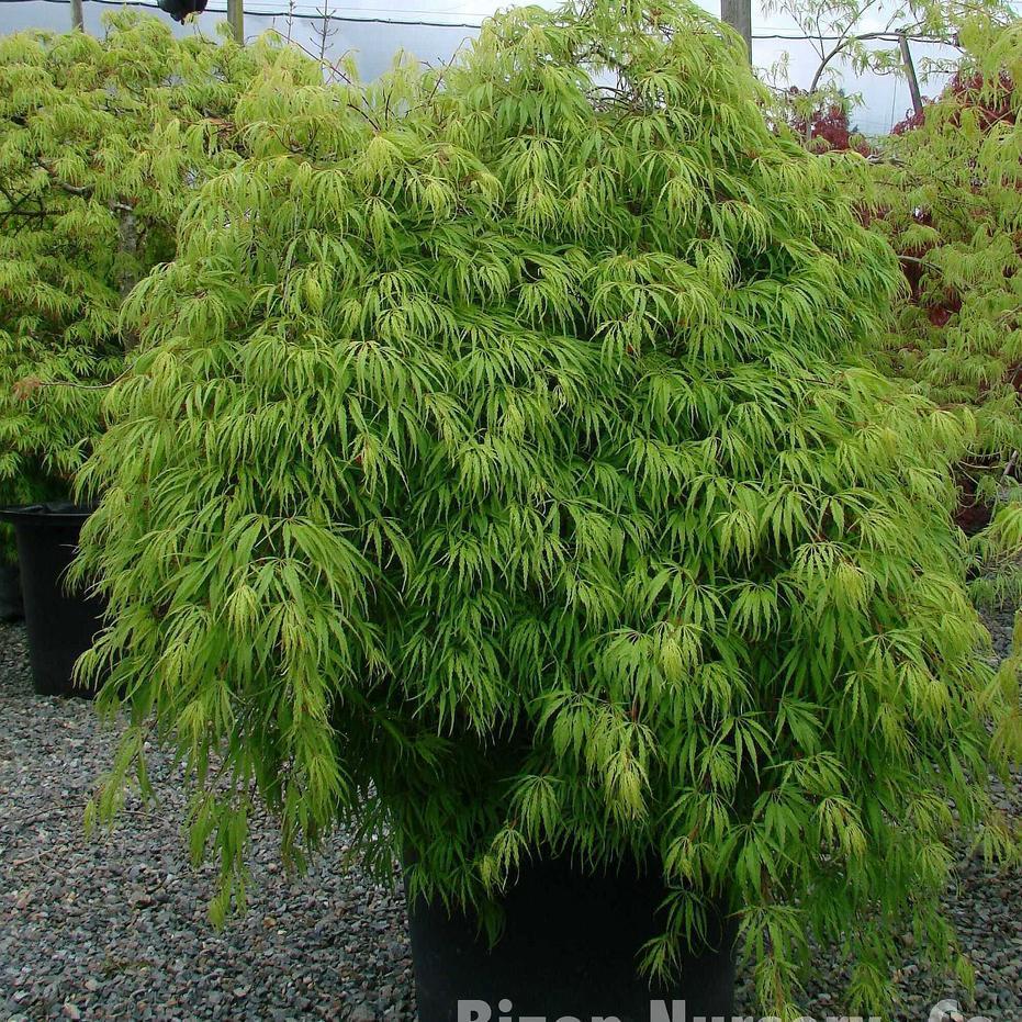 Rable du japon planter et tailler ooreka - Variete de pommier rustique ...