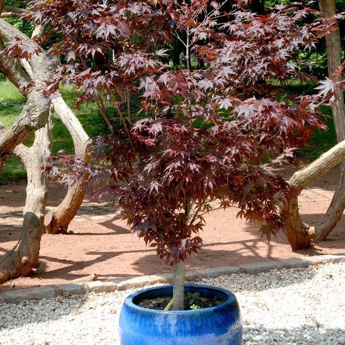 Variétés à feuillage rouge Acer Japonicum 'Fire Glow'