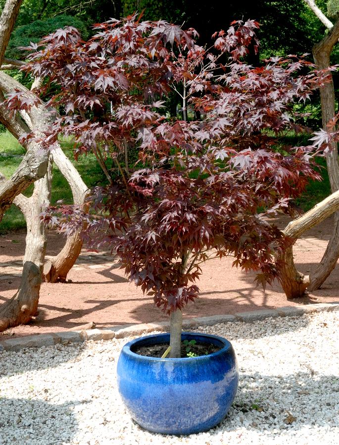 Rable du japon planter et tailler ooreka - Baie du japon en 3 lettres ...