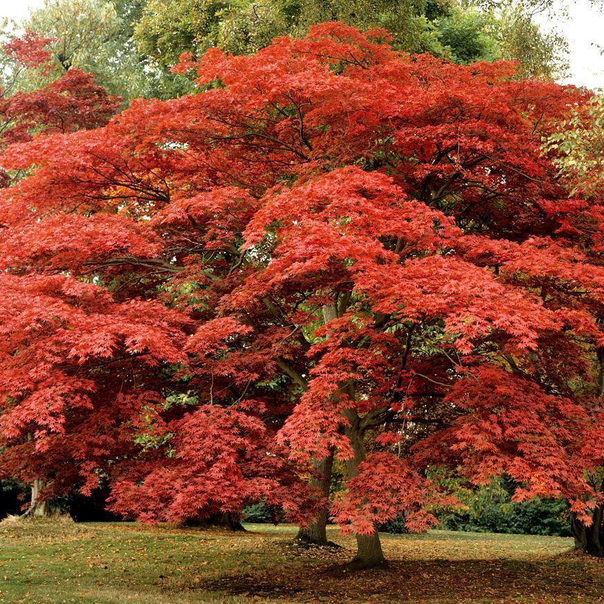 Variétés à feuillage rouge Acer Japonicum 'Shaina'