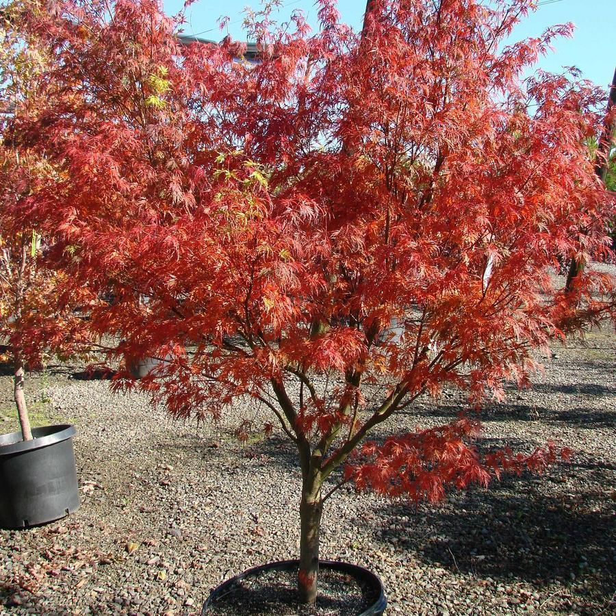 Variétés à feuillage vert Acer palmatum 'Seiryu'