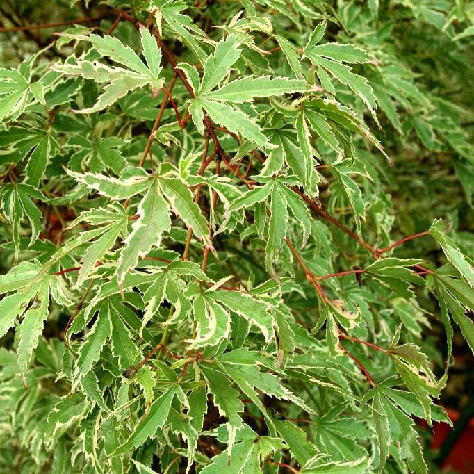 Variétés à feuillage panaché Acer palmatum 'Butterfly'