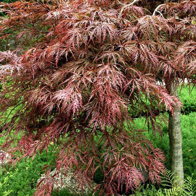 Variétés à feuillage rouge Acer palmatum 'Dissectum Garnet'