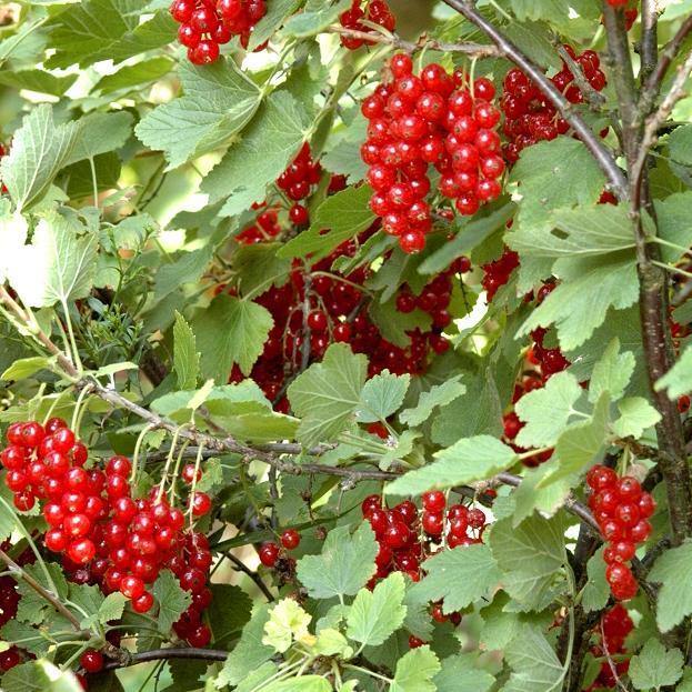Groseillier à grappes (Ribes rubrum) 'Junifer'
