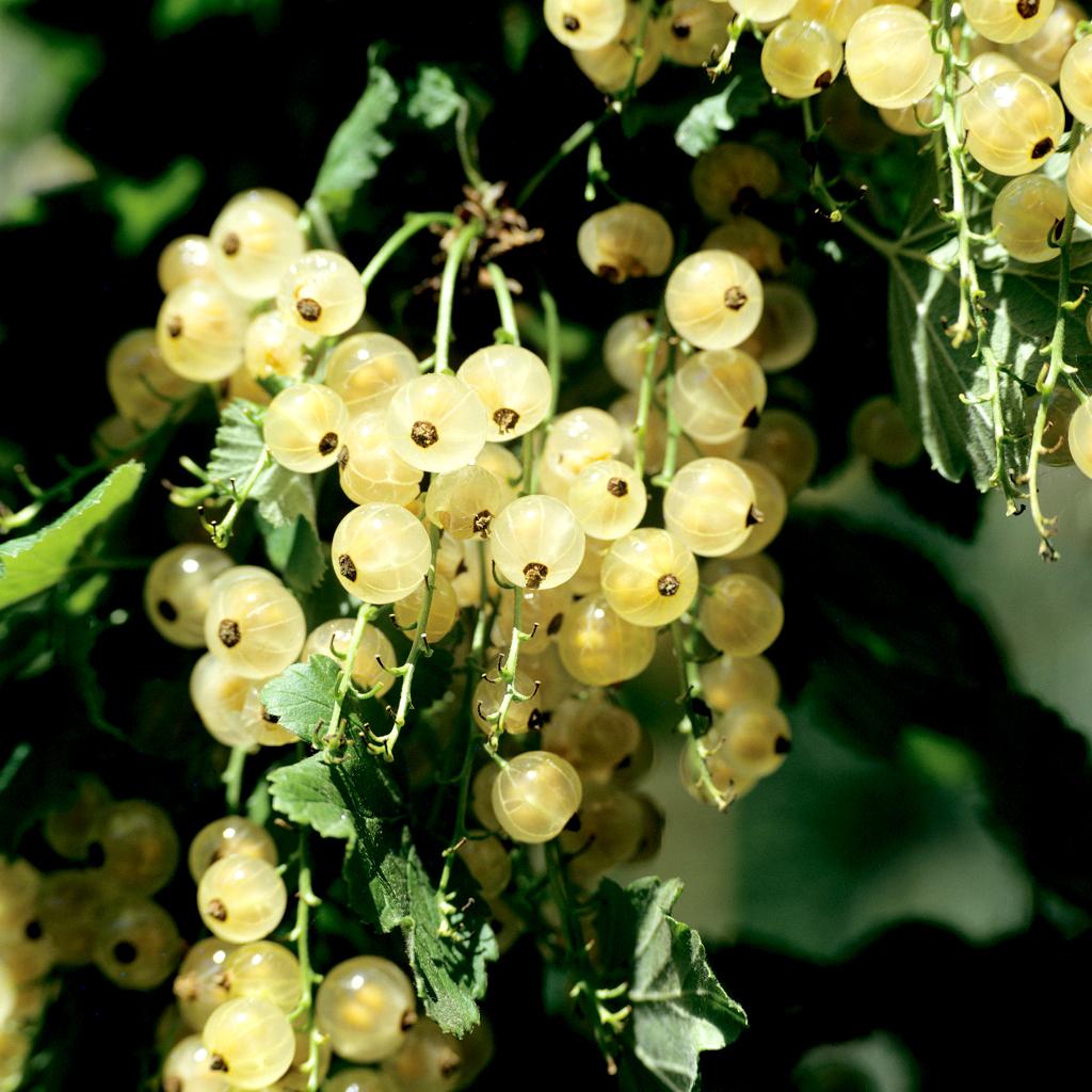 Groseillier à maquereau (Ribes uva-crispa ou grossularia) 'Anglaise blanche'