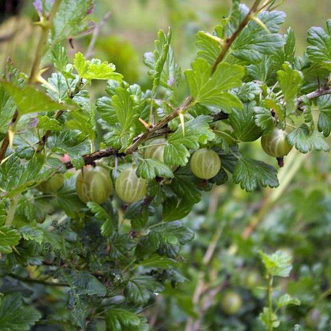 Groseillier à maquereau (Ribes uva-crispa ou grossularia) 'Resistenta'